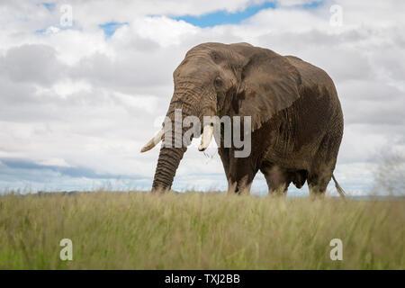 African elephant (Loxodonta africana) bull walking on savanna, Amboseli national park, Kenya. - Stock Photo