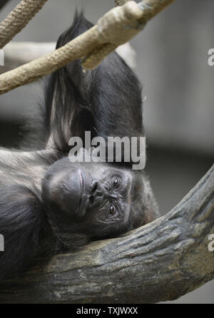 Binti Jua, an 25-year-old western lowland gorilla and grandmother of a newborn female, relaxes in her habitat at the Brookfield Zoo's Tropic World exhibit in Brookfield, Illinois on November 6, 2013. The infant was born on November 4 to 18-year-old Koola at the Chicago area zoo. In 1996, a three-year old boy fell into the gorilla habitat at the zoo and Binti Jua protected him from the other animals and carried him safely to an access door where paramedics were standing by.     UPI/Brian Kersey - Stock Photo