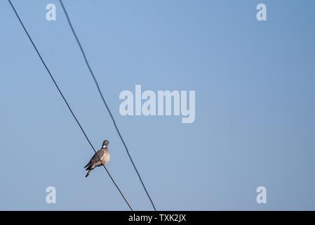 Common wood pigeon (Columba palumbus)  sitting on electrical cord. Spring season. - Stock Photo