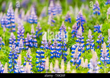 Colorful vibrant blue lupine flowers in Iceland with blurred blurry background bokeh blossoms during day - Stock Photo