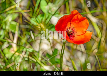 close up poppy flower named papaver oriantale in latin - Stock Photo