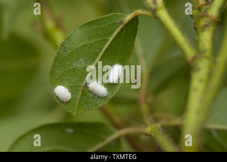 Woolly aphid , scale insect, Eriosoma spp on underside of Viburnum tinus leaves, start of infestation - Stock Photo