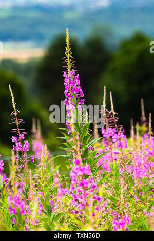 Rosebay Willowherb in beautiful pink full bloom. - Stock Photo