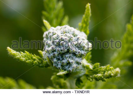 Growing dandelion, sprouting flower, grass in the field macro take - Stock Photo