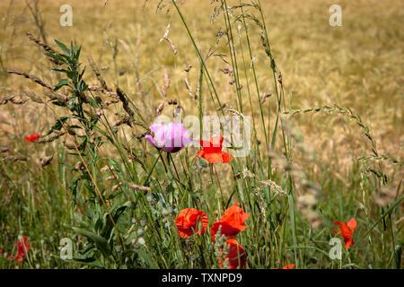 poppies (Papaver) on a field margin in the district Poll, Cologne, Germany.  Mohnblumen (Papaver) an einem Feldrand in Koeln-Poll, Deutschland. - Stock Photo