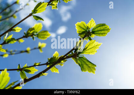 Young green leaves with sunlight shining through in front of a blue sky and fine white clouds - low angle view, landscape orientation - Stock Photo