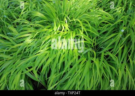 Golden Japanese Forest Grass, Hakonechloa macra family. - Stock Photo