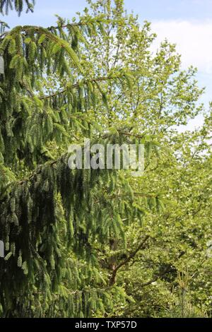 Beautiful Finnish spruce, Picea abies, the Norway spruce, or European spruce at the Morton Arboretum. - Stock Photo