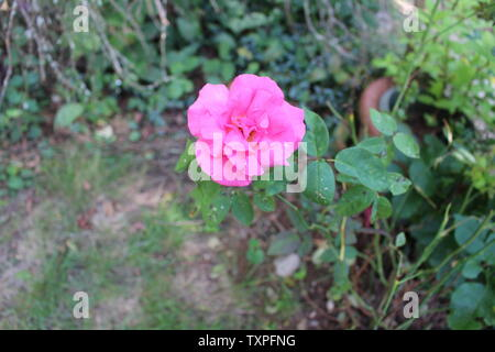 One lone pink rose with raindrops on the petals - Stock Photo