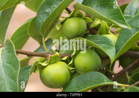 Close-up of a branch of the persimmon tree with still green fruits that are growing - Stock Photo