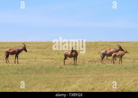 Topi Damaliscus lunatus jimela grazing green grassland with two young topi calves Masai Mara National Reserve Kenya East Africa - Stock Photo
