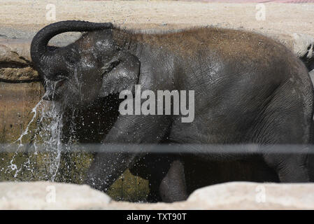 Madrid, Madrid, Spain. 25th June, 2019. A young Asian elephant cools off in the water at their enclosure in Madrid zoo, where high temperatures reached up 36º degrees Celsius during the afternoon hours.Spain's weather agency AEMET said the first heat wave of this summer is expected to hit Spain tomorrow Wednesday, 26 June 2019, with temperatures exceeding 40ºC across many areas of inland Spain. Spanish cities as Zaragoza and Logroño will see the mercury rise on Friday to 45C and 44C respectively. Credit: Jorge Sanz/SOPA Images/ZUMA Wire/Alamy Live News - Stock Photo