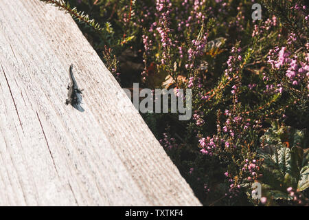 A lizard sunbathing on a plank-way leading through heather bushes in a bog in Latvia. Stock Photo
