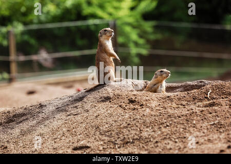 Two Marmota. Cute wild Gopher standing in green grass. Observing young ground squirrel stands guard in wild nature. Curious european suslik posing to - Stock Photo