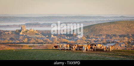 Best view for the cows over to Corfe Castle - Stock Photo