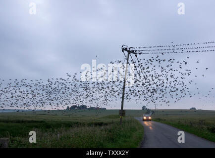 Harty, Kent, UK. 25th June, 2019. UK Weather: a murmuration of starlings  this evening in Harty, Kent. Credit: James Bell/Alamy Live News