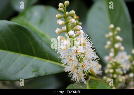 Close-up view of white blooming Prunus laurocerasus shrub, also known as cherry laurel, common laurel and English laurel - Stock Photo