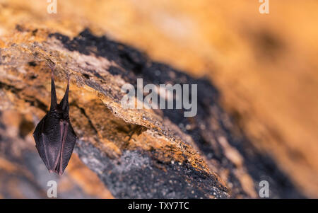 Close up small sleeping horseshoe bat covered by wings, hanging upside down on top of cold natural rock cave while hibernating. Creative wildlife