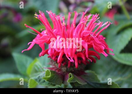 Close-up view of pink blooming Monarda flower, also known as bee balm, horsemint, oswego tea and bergamot - Stock Photo