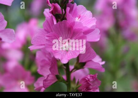 Macro closeup of pink blooming Malva alcea flower, also known as hollyhock mallow, vervain mallow and greater musk-mallow - Stock Photo