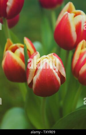 Closeup of red and yellow blooming tulip flowers on blurred green background, foliage and blossoms, vertical - Stock Photo