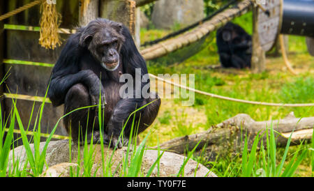 closeup portrait of a western chimpanzee, critically endangered primate specie from Africa - Stock Photo