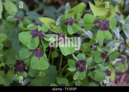 Oxalis tetraphylla Iron Cross (Good Luck Plant). - Stock Photo