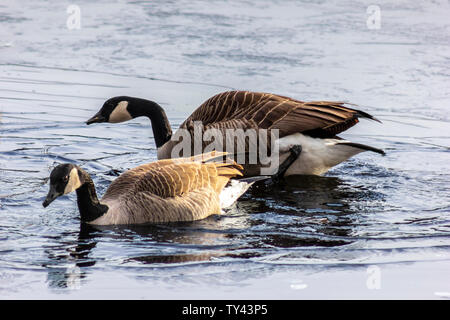 Two beautiful Canada Geese breaking ice on frozen lake to swim. Stunning winter scene. Awesome water reflection. Broken ice on top of frozen water. - Stock Photo