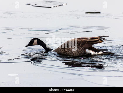 Beautiful Canada Goose breaking ice on frozen lake to swim. Stunning winter scene. Awesome water reflection. Broken ice on top of frozen water. - Stock Photo