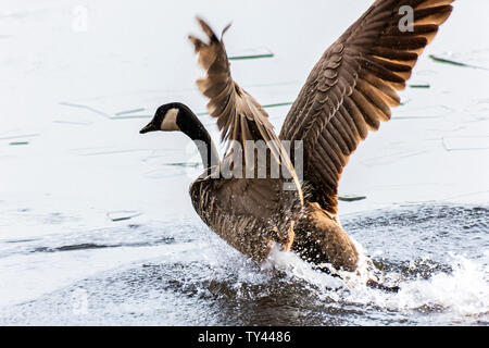 Beautiful Canada Goose flapping wings in landing on frozen lake,ice. Stunning winter scene.Awesome water reflection.Broken ice on top of frozen water. - Stock Photo