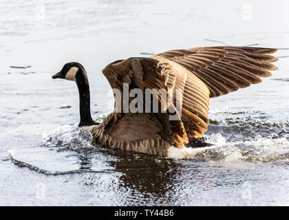 Beautiful Canada Goose landing on frozen lake, breaking ice to swim. Stunning winter scene.Awesome water reflection.Broken ice on top of frozen water. - Stock Photo
