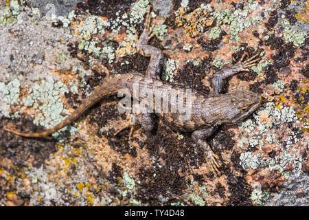 Plateau Lizard (Sceloporus undulatus), Gateway Mesa Open Space Park, resting on lichen covered rock, Castle Rock Colorado US. - Stock Photo