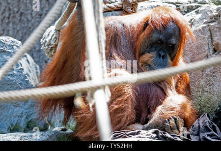 Hamburg, Germany. 24th June, 2019. The 58-year-old orang-utan lady Bella sits in her enclosure in Hagenbeck Zoo. According to Hamburg Zoo, the red-haired Bella is probably the oldest orangutan in the world. Credit: Axel Heimken/dpa/Alamy Live News - Stock Photo