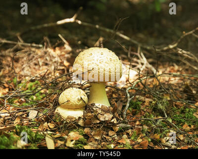 two fungi on the ground in the tarkine forest of tasmania - Stock Photo