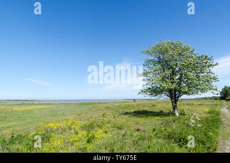 Lone tree in a beautiful green and bright coastland by springtime in a swedish nature reserve by the coast of the Baltic Sea at the island Oland - Stock Photo