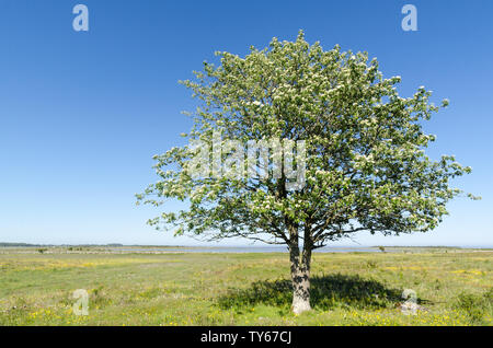 Lone Whitebeam tree by springtime in a green and bright coastland with yellow flowers at the swedish island Oland - Stock Photo
