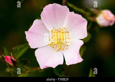 Rosa canina, 'Dog rose' flower closeup. Wildflower. Dorset, United Kingdom - Stock Photo