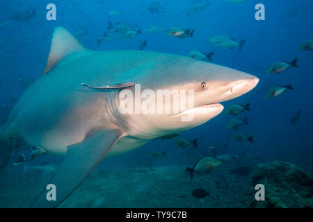 Bull shark, Carcharhinus leucas, Beqa Lagoon, Fiji.  This species is known for it's ability to survive in fresh water where it gives birth to it's you - Stock Photo