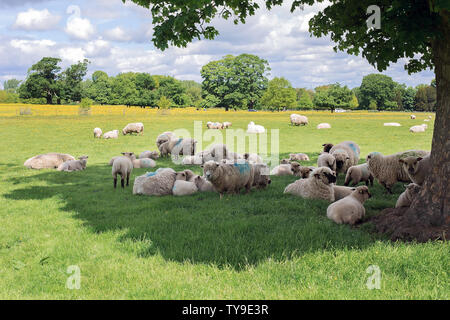 A flock or herd of sheep and lambs resting under the large shade of a tree on a field with yellow flowers during a bright sunny day in United Kingdom - Stock Photo