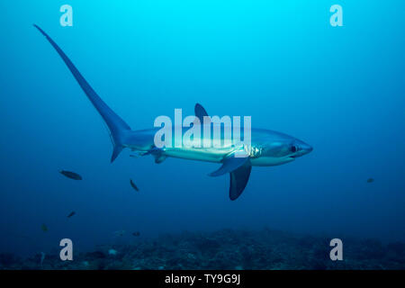 There are three species of thresher sharks all characterized by the unmistakably elongated upper lobes of their tail fin. This one, the pelagic thresh - Stock Photo