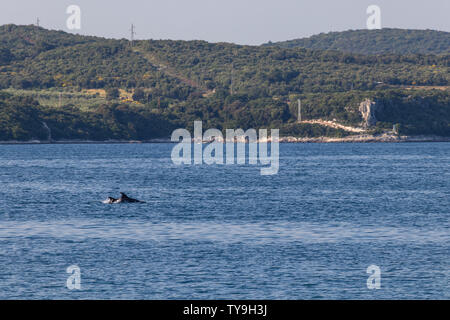 Group of dolphins swimming north of Rovinj in Croatia - Stock Photo
