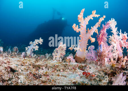 Alcyonarian coral stands upright on the bottom at 100 feet while divers (MR) in the background explore the wreck of the Alma Jane off Sabang Beach, Pu - Stock Photo