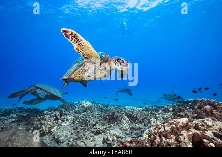 A snorkeler observes a group of green sea turtles, Chelonia mydas, from above, Hawaii. - Stock Photo