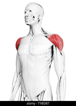3d rendered medically accurate illustration of the deltoid - Stock Photo