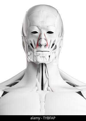 3d rendered medically accurate illustration of the levator labii superioris alaeque nasi - Stock Photo