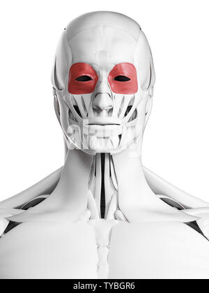 3d rendered medically accurate illustration of the orbicularis occuli - Stock Photo