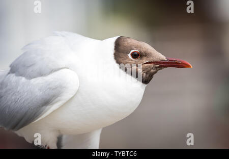 Black-headed gull (Chroicocephalus ridibundus) with summer plumage, pictured in Lymington, Hampshire, UK - Stock Photo