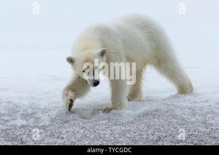 Yearling polar bear cub (Ursus maritimus) walking on ridge of glacier, Bjoernsundet, Hinlopen Strait, Spitsbergen Island, Svalbard Archipelago, Norway - Stock Photo