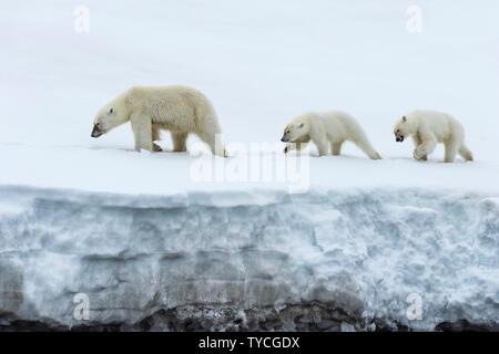 Female polar bear (Ursus maritimus) with two yearling cubs, Bjoernsundet, Hinlopen Strait, Spitsbergen Island, Svalbard Archipelago, Norway