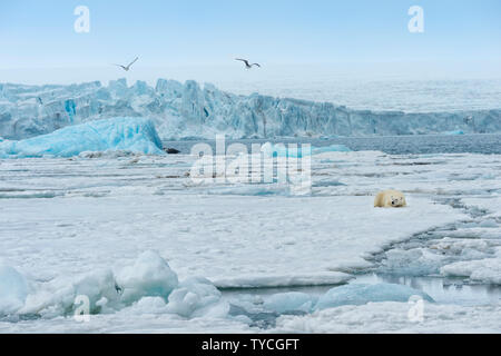 Female polar bear (Ursus maritimus) resting on packice, Bjoernsundet, Hinlopen Strait, Spitsbergen Island, Svalbard Archipelago, Norway - Stock Photo